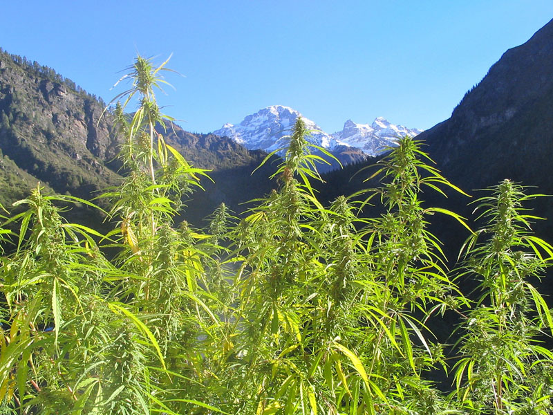 What is ethnobotany for Cannabis exterieur