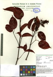 Scan of Bignonaceae Arrabidaca chica