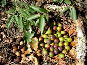 Native California bay nuts, acorns, redwood needles