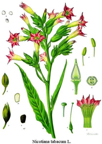 Nicotiana tabacum, 1887 illustration